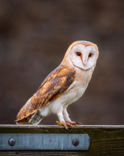 Lancashire Barn owl